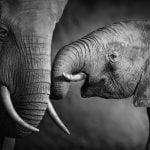 תמונת טבע, פילים להדפסה מס' 760110